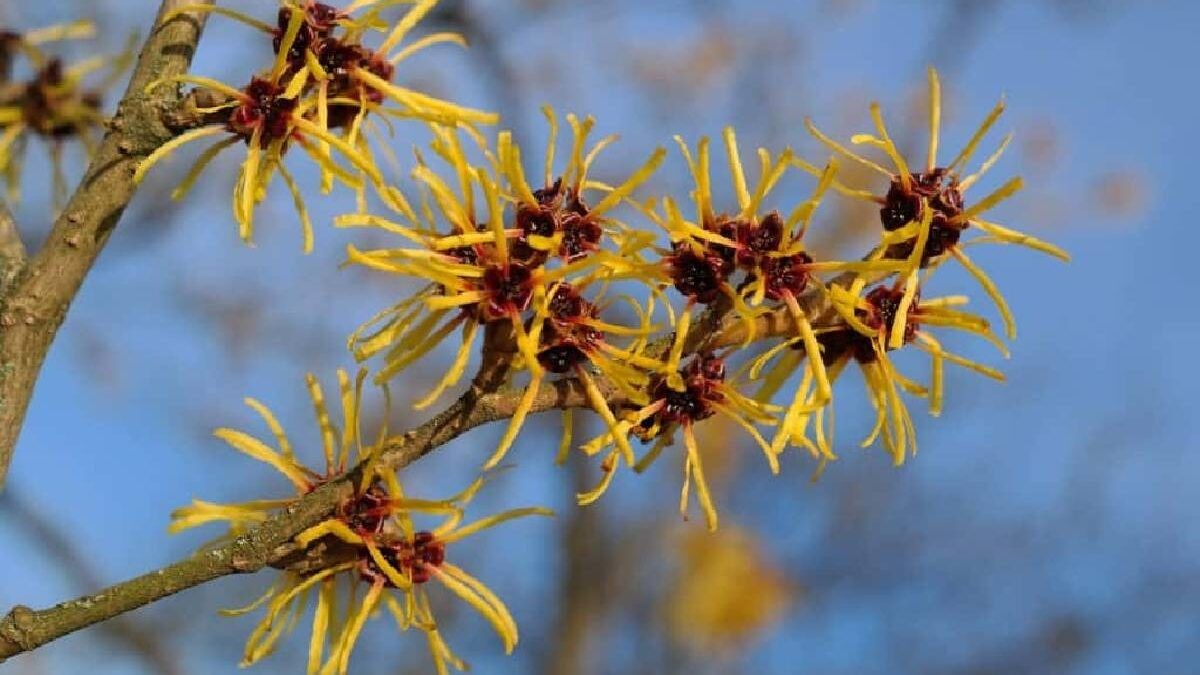 What is Witch Hazel? – Ingredients, Witch Hazel Look Like, and More